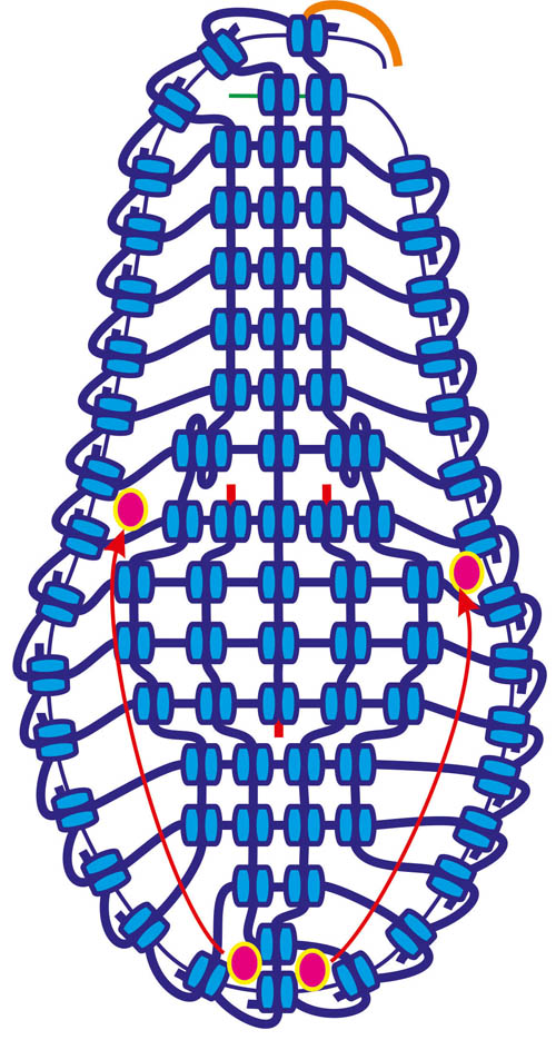 Разделяем нити и одеваем бисер на две нити отдельно.  На схеме справа, все что ниже пунктира - на изнанке.